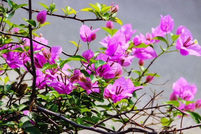 BOUGAINVILLEA... PURPLE COLOUR... Flower Head Flower Tree Branch Springtime Purple Blossom Close-up Sky Bougainvillea Blooming In Bloom
