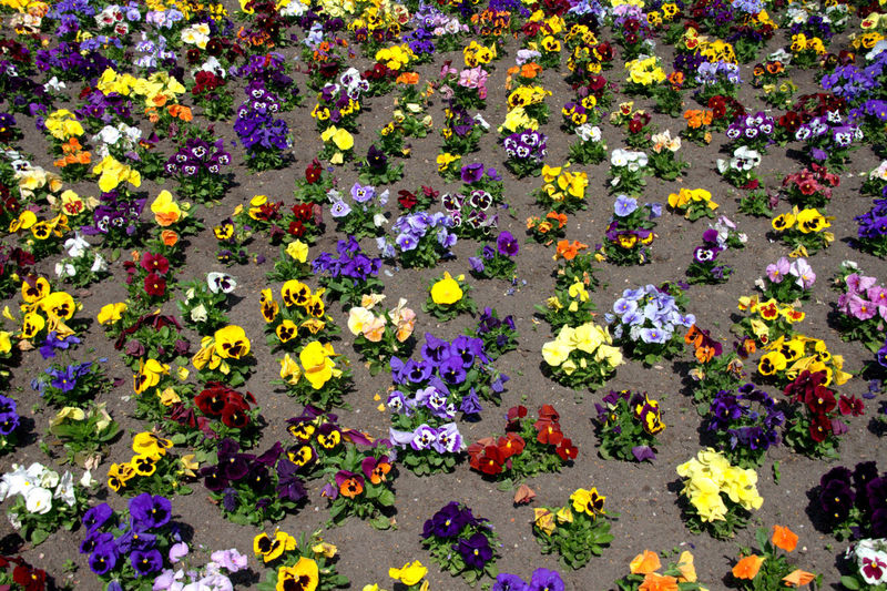 High angle view of colorful flowers growing in garden