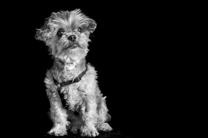 Blackandwhite Bnw Cute Dog Dog Portrait Low Key Low Key Dog Pet Pet Love Pet Portrait Porztrait