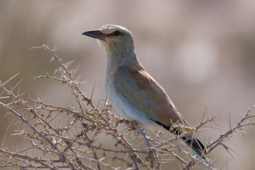 European Roller Bird Animal Wildlife Animals In The Wild One Animal No People Nature Outdoors Perching Beauty In Nature Bird Photos Birds🐦⛅ Day Beauty In Nature Clear Sky Feather  Beak Blue Nature Side View