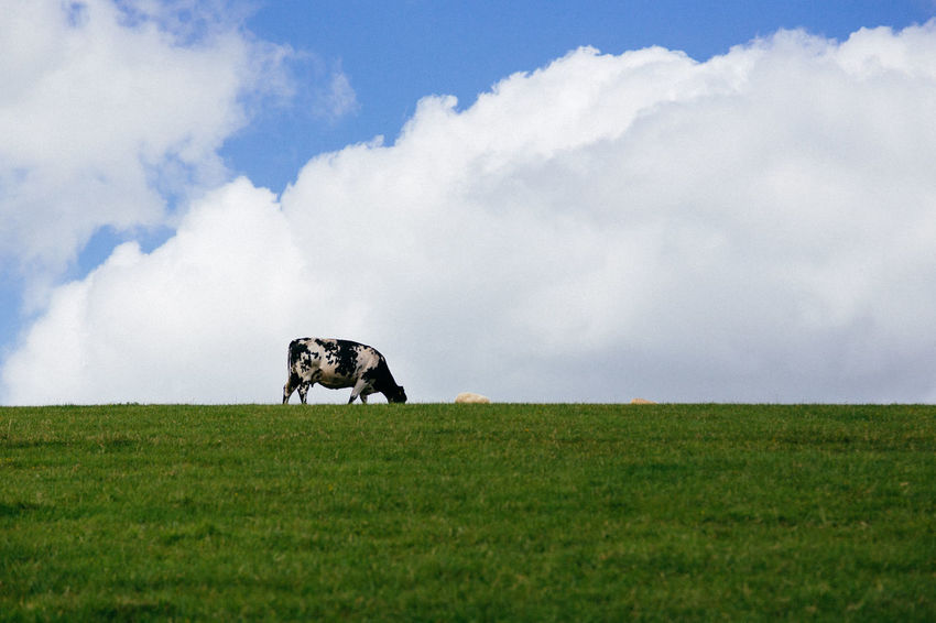 Animal Themes Beauty In Nature Cloud - Sky Cow Day Domestic Animals Field Grass Grazing Green Color Horse Landscape Livestock Mammal Nature No People One Animal Outdoors Rural Scene Scenics Sky English Countryside