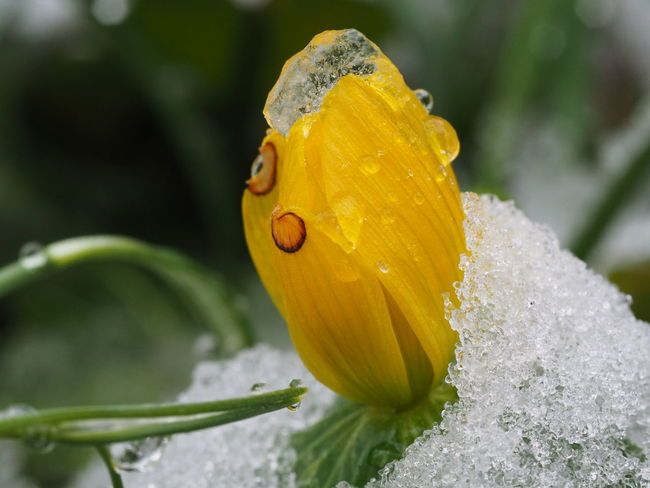 Ice Beauty In Nature Blooming Close-up Day Drop Flower Flower Head Focus On Foreground Fragility Freshness Growth Ice Flower Insect Nature No People Outdoors Plant Water Wet Yellow