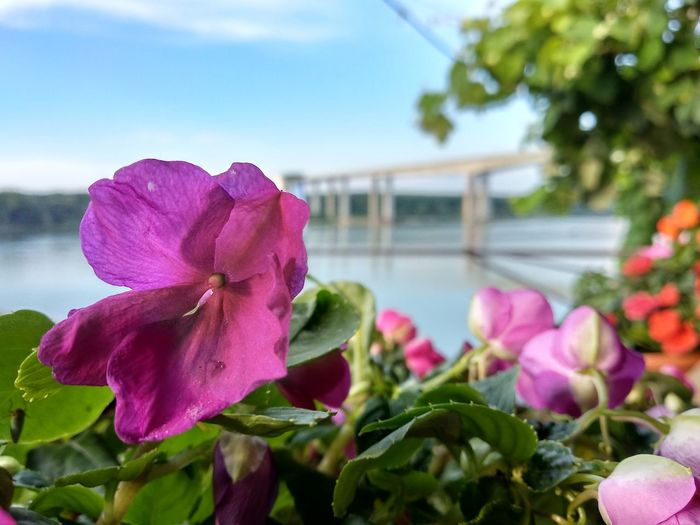 Flower and Bridge Bridge Danube Flower Head Flower Water Multi Colored Pink Color Petal Springtime Purple Close-up Sky Plant Life