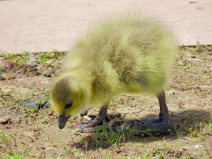 Baby goose gosling looking for something to eat closeup fuzzy yellow bird beauty in nature outdoors EyeEm nature lover Animal Themes Animal Wildlife One Animal High Angle View