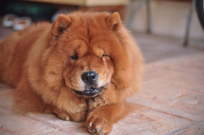 Alertness Animal Animal Head  Brown ChowChow Close-up Cute Day Dog Domestic Animals Fat Fluffy Focus On Foreground Fur Lying Down Mammal No People Pets Portrait Relaxation Resting Snout Whisker Wink Sommergefühle Pet Portraits