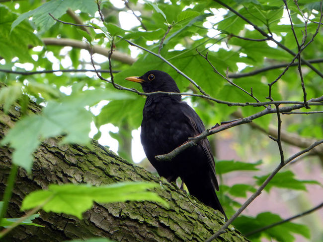 Blackbird In Tree Zoom ♡Eye4photography  Animal Themes Looking Up😍 Nature Surrounds Me For My Friends 😍😘🎁 Beauty In Nature Enjoyinglife  Summertime 🌞 Beauty In Simplicity