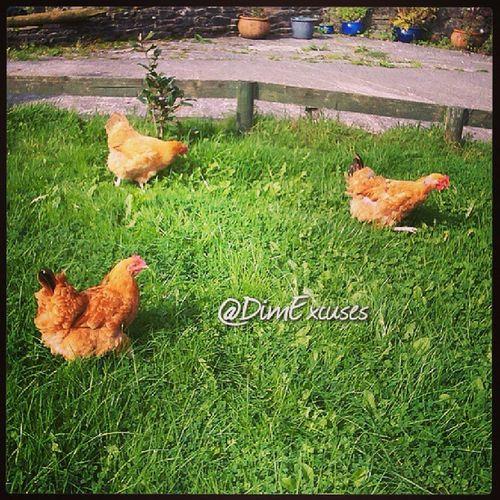 How Rural is this? @CwmTawel Chickens Sam, Ella & Trouble RuralDevelopment