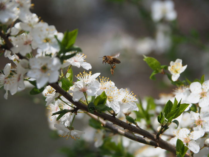 Close-up of bee on white cherry blossom