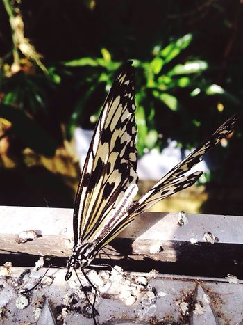 Insect Butterfly - Insect No People Wildlife Nature Beautiful Fragility Photography Animal Themes Animal Markings Day