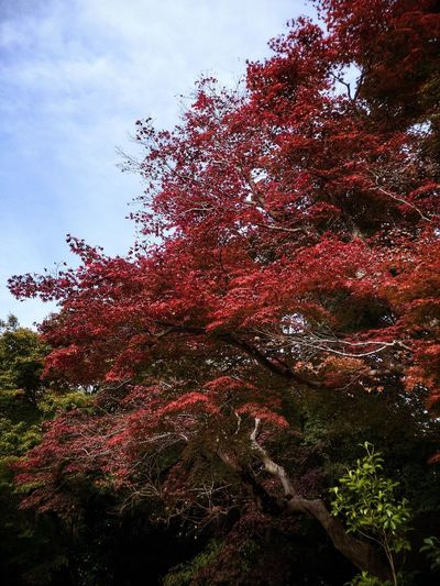 Autumn Trees Arashiyama Japan Kyoto Plant Tree Sky Nature No People Low Angle View Growth Day Beauty In Nature Outdoors Tranquility