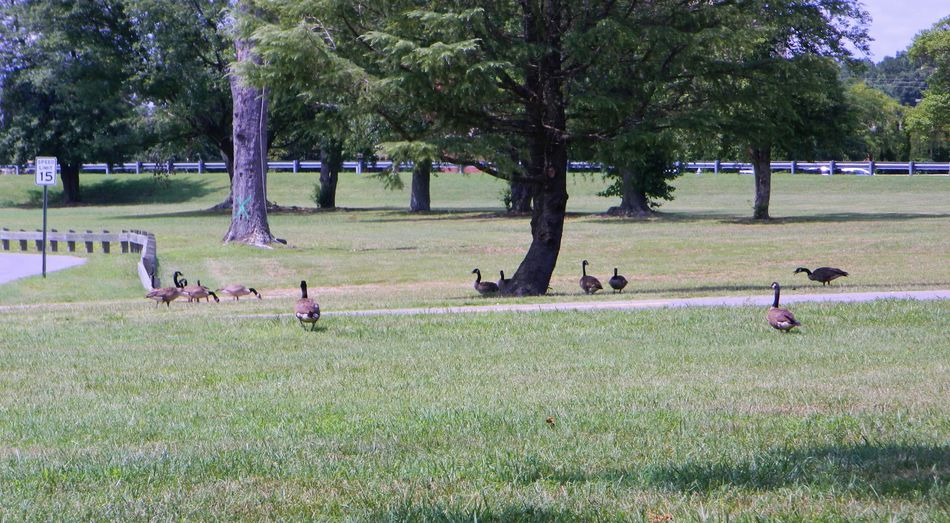 Day of the goose Avian Beak Bird Bright Day Daydreaming Evening Feather  Feeding  Field Flock Free Goose Grass Green Long Neck  Nature No People OpenEdit Outdoors Park Sun Shining Suny Walking Around Woddle