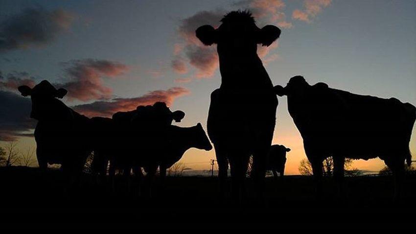 🌄 🍀 🐄 Irish Sunset Cow Nature Sun Lights Discoveringireland Sky Lovely Nice Awesome Ireland Pic Picture Picoftheday Instapic Igmaster Horizongrafias Movilgrafias Igers Igersireland Shot Like Tagsforlike Like4like follower amazing huawei