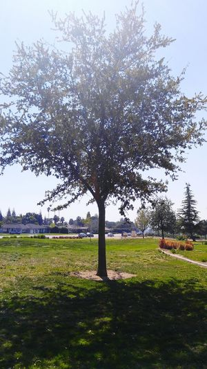 Thebluffs Bakersfield California Tree TreePorn Tree_collection  Trees And Sky Nature Nature_collection Nature Photography Nature Lover Natureporn Greenery_scenery Sunshine Sunshinestate Springtime Spring Has Arrived Spring Is In The Air Niceweather Niceday