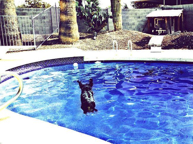 Frankie FRANKLY THE BEST DACHSHUND loves swimmingEnjoying Life I Love My Dog Weeniedog Dachshund Frankie Dogs Swimming Pool