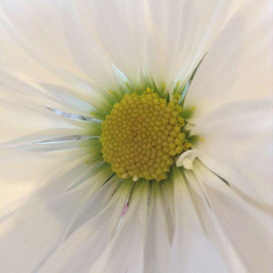 *+ ΨΗΙΤΣ ΛS SΝΘΨ +* Nature Flowers Macro Nature_collection OpenEdit White Macro_collection White Flower