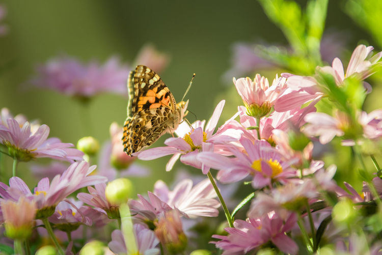 Butterfly pollinating on pink flowering plants
