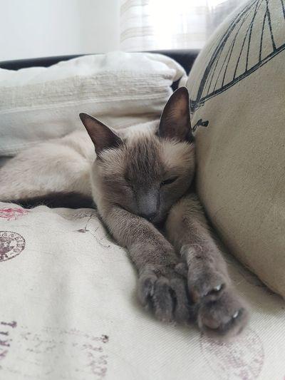 Sleepy cat Cat
