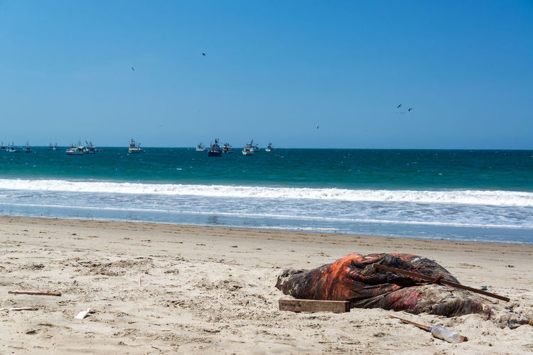 Sea lion that has been killed by fishermen on a beach in Mancora, Peru Beach Boats Coast Destination Holiday Lion Mancora Nature Ocean Outdoors Pacific Ocean Peru Rural Sand Sandy Sea Sea Lion Shore Sunny Tourism Town Travel Vacation Village Water