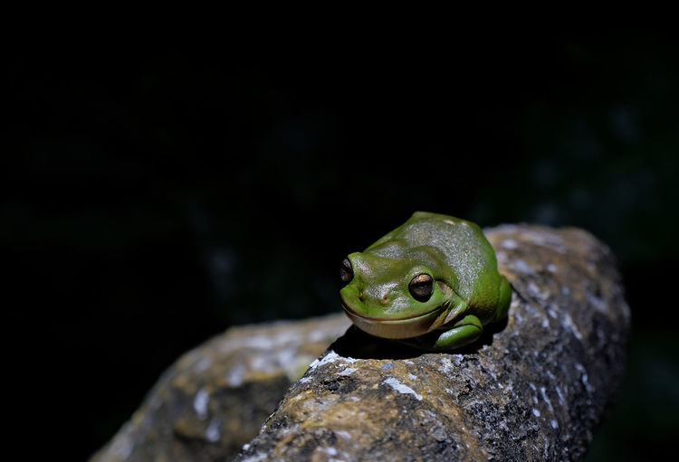 Queensland Australia Lady Elliot Island Great Barrier Reef Green Tree Frog Animal Themes One Animal Animal Wildlife Close-up No People Night Black Background Copy Space Focus On Foreground Nature Frog Amphibian Outdoors