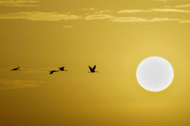 Silhouette crane flying against sky during sunset