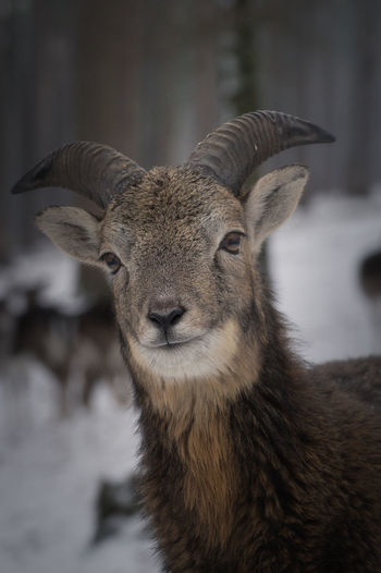 Animal Themes Animal Wildlife Animals In The Wild Close-up Day Domestic Animals Focus On Foreground Mammal Mouflon Nature No People One Animal Outdoors Portrait