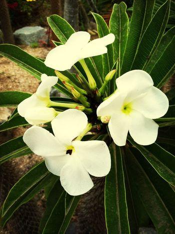 Madagascar Palm Flower