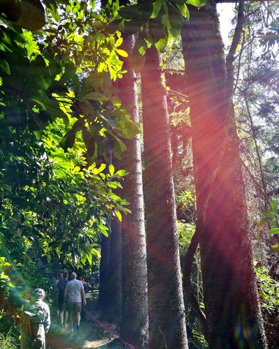 Tree Forest Nature Sunlight Beauty In Nature Freshness Jungle Trail