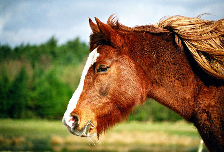 Chestnut Pony Animal Animal Body Part Animal Head  Animal Themes Animal Wildlife Brown Close-up Day Domestic Domestic Animals Field Focus On Foreground Herbivorous Horse Land Livestock Mammal Nature No People One Animal Outdoors Pets Profile View Vertebrate