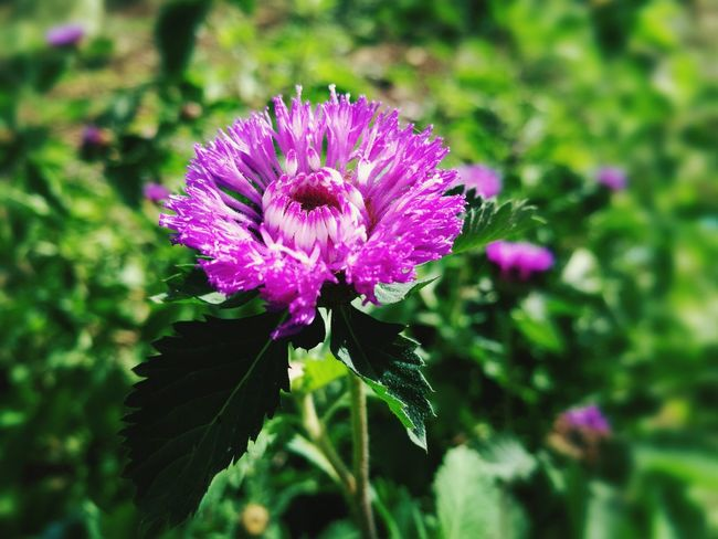 Flower Purple Plant Nature Petal Beauty In Nature No People Close-up Purple Flower ดอกไม้ ดอกไม้ (Flower)