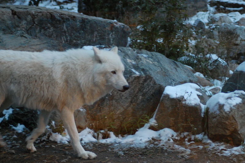 View of wolf during winter