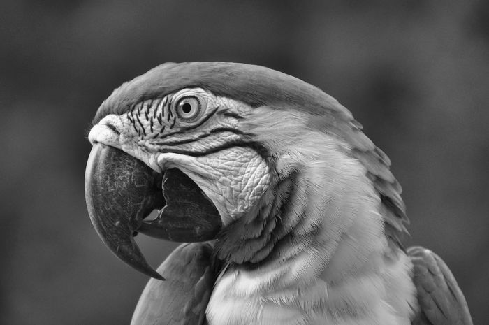 At the end after driving down death road, this fellow came to beg for food :) Animal Body Part Animal Eye Animal Head  Animal Themes Ara Avian B&w Birds Beak Beauty In Nature Bird Bnw_friday_eyeemchallenge Close-up Day Feather  Focus On Foreground Nature No People Outdoors Parrot Porttrait Wildlife