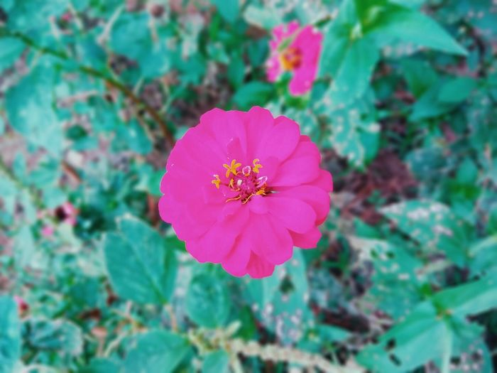 Pretty in Pink. Flower Petal Plant Nature Fragility Flower Head Beauty In Nature Growth Pink Color No People Outdoors Freshness Day Close-up Blooming Zinnia  First Eyeem Photo EyeEmNewHere