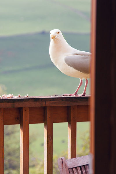 May I come in? Animal Themes Bird Focus On Foreground Looking In Nature No People One Animal Perching Sea Gull Winged Visitor