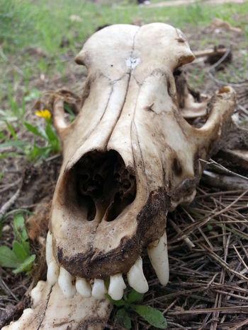 Animal Bone Animal Skull Bone  Close-up Day Death Dog Bone Dog Skull Field Focus On Foreground Grin Nature No People Outdoors Smile Teeth