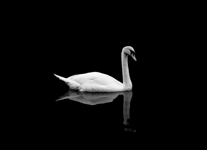 Close-up of swan swimming against black background