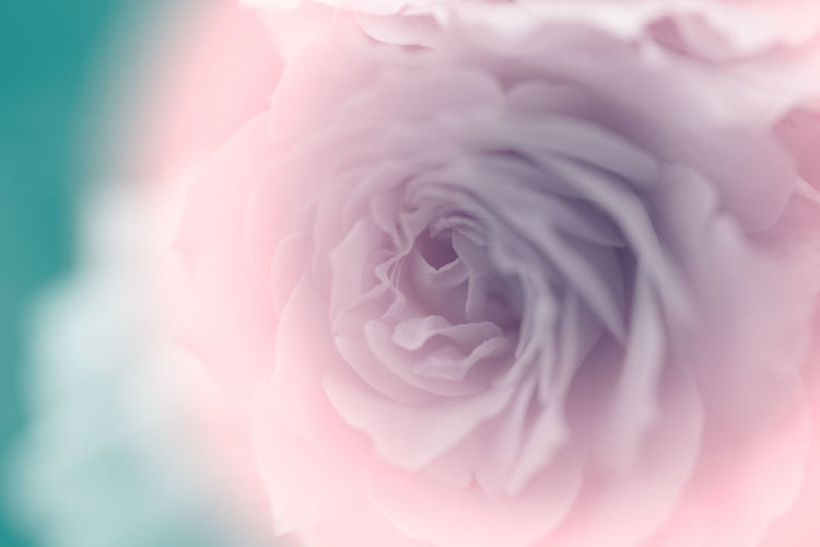 sweet of focus petal soft rose flower for background Flower Flowering Plant Beauty In Nature Freshness Close-up Vulnerability  Petal Plant Flower Head Fragility Inflorescence Rosé Nature Pink Color No People Selective Focus Rose - Flower Growth Extreme Close-up
