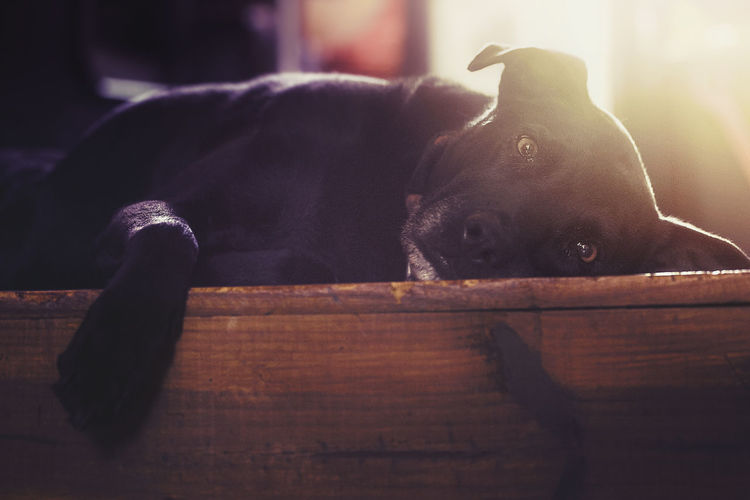 Pets Domestic Animals Domestic Mammal Animal Themes Dog Canine One Animal Animal Vertebrate Looking At Camera No People Indoors  Portrait Lying Down Relaxation Wood - Material Resting Focus On Foreground Selective Focus Animal Head  Small Love The Look Of Love