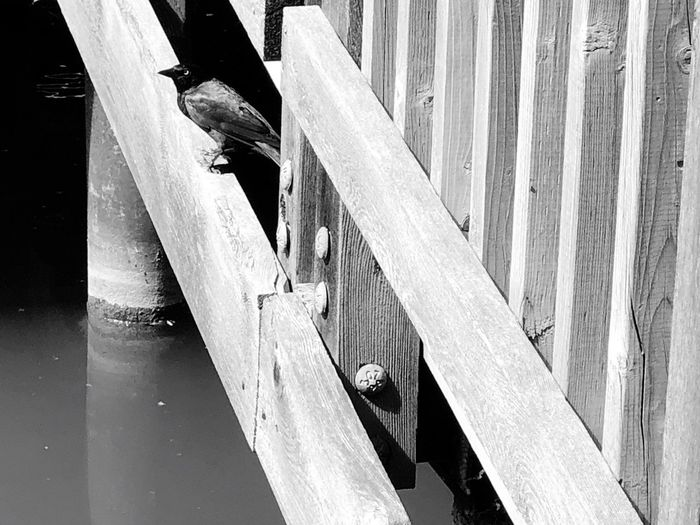 Wildlife photography series: Crow or Raven? Avian Photography Aves Fotografia Crow Raven Bird Wildlife Photography Black And White Photography EyeEm Selects Day Barrier Wood - Material Fence Boundary No People High Angle View Outdoors Nature Close-up Sunlight Shadow Reflection