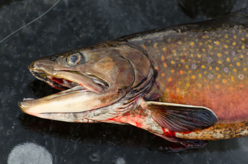 Close-up of trout on wet table