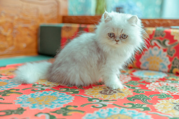 The pup of ginger cat. Artificial Cat Cat's Eyes Close-up Cute Docile Ginger Cat Kitten White Background Domestic Domestic Animals Pets Mammal Domestic Cat Animal Themes Animal Cat Feline Indoors  One Animal Vertebrate Furniture Portrait Bed Carpet - Decor No People Home Interior White Color Looking At Camera Persian Cat  Whisker Floral Pattern