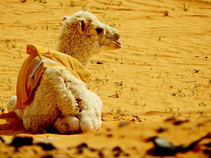 Land Animal Animal Themes Nature No People Animal Wildlife Vertebrate Mammal Day Young Adult Baby Camel Baby Camels Desert Desert Anmals Desert Life Desert Babies EyeEmNewHere