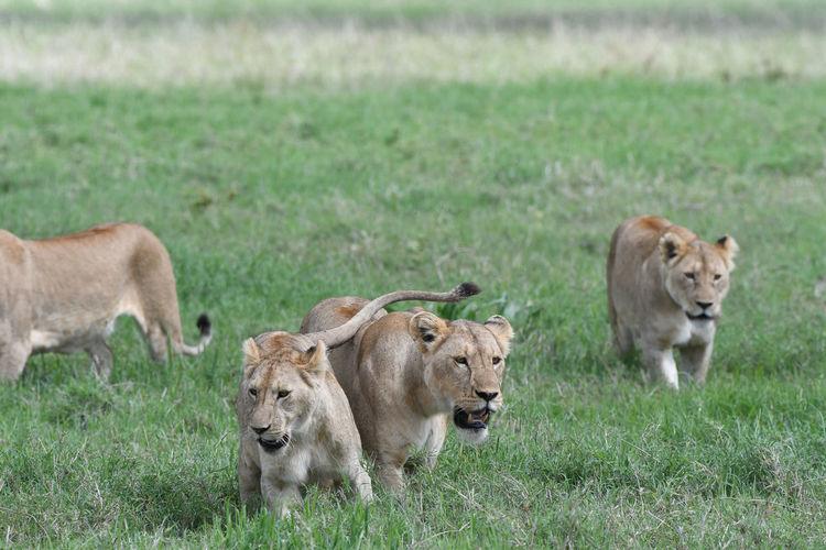 Lionesses walking on grassy land