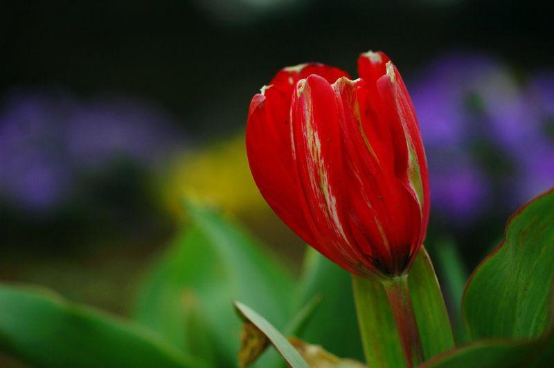 チューリップ Colorful EyeEm Flower 春 Spring Flowers Flower Collection Spring Colours Colors EyeEm Nature Lover Bokeheffect Bokeh Macro Nature Red Flower