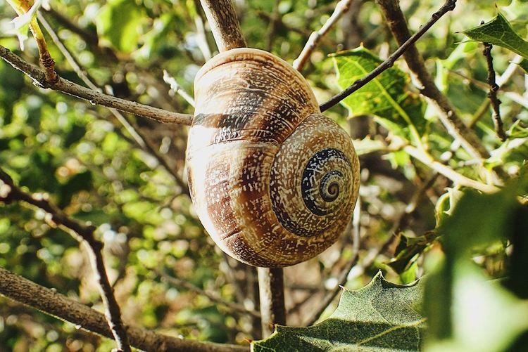 Snail Gastropod