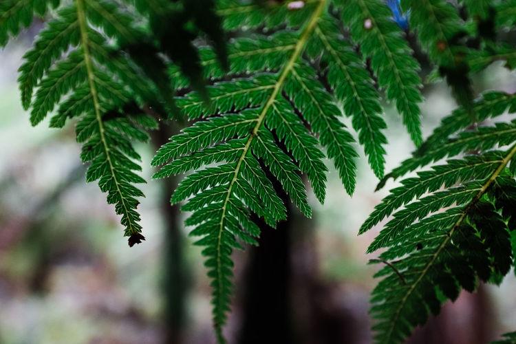 Fern Leaf in