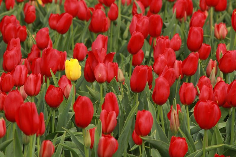 Spring Flowers Yellow Flower Red Flowers Yellow Tulip Red Tulips EyeEm Selects Flower Red Nature Beauty In Nature Petal Freshness Growth Outdoors Fragility Tulip Flower Head Plant Backgrounds No People Blooming Full Frame Day