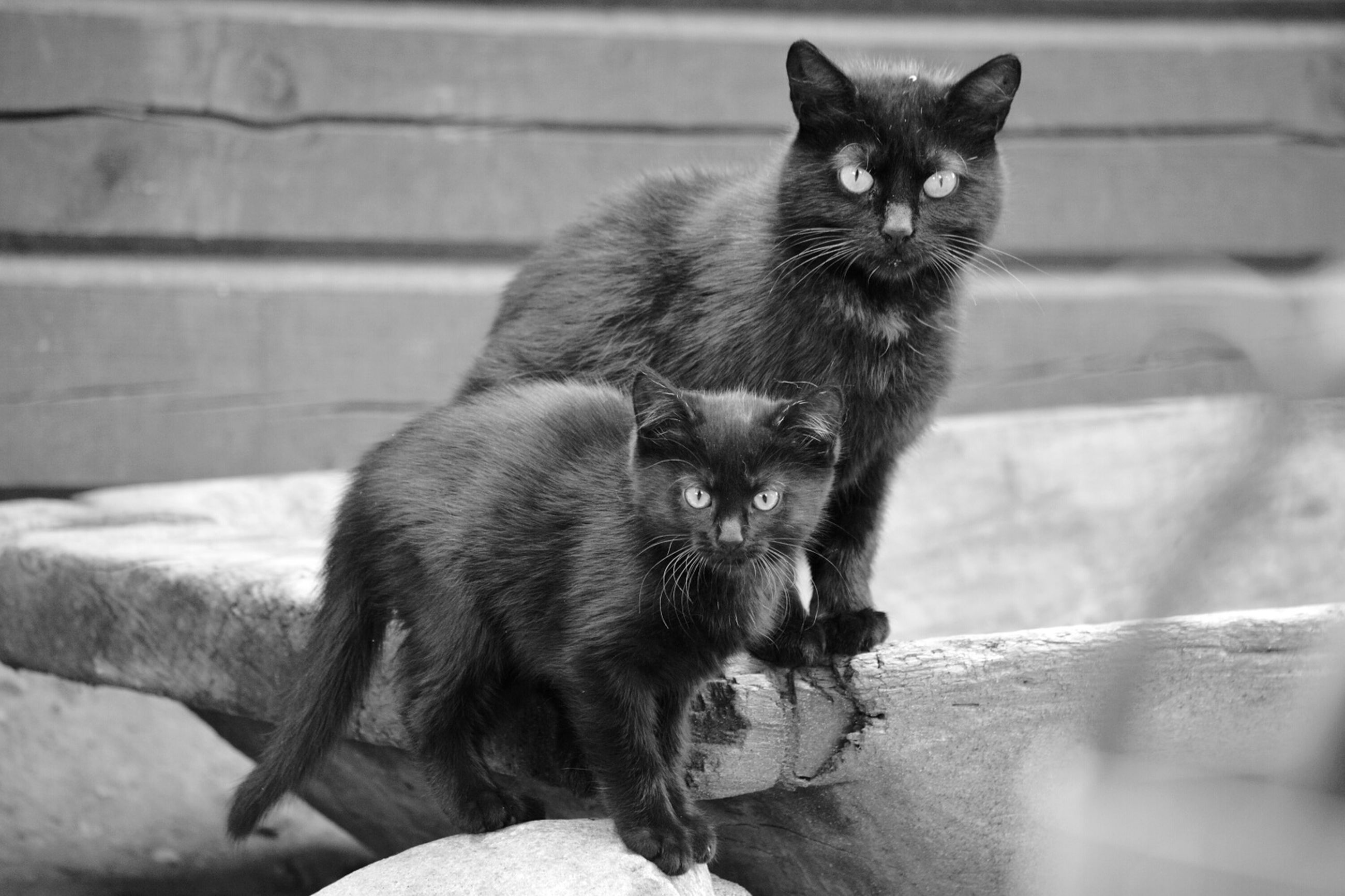 animal themes, one animal, domestic cat, pets, mammal, domestic animals, cat, feline, whisker, looking at camera, portrait, sitting, close-up, focus on foreground, staring, black color, alertness, indoors, front view