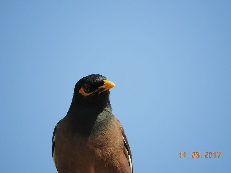 Bird One Animal Animal Themes Animals In The Wild Animal Wildlife Clear Sky Bird Of Prey No People Close-up Day Outdoors Sky Nature Perching Myna The Purist (no Edit, No Filter) Beauty In Nature Clarity Looking At Camera Animal Eye Brown The Great Outdoors - 2017 EyeEm Awards