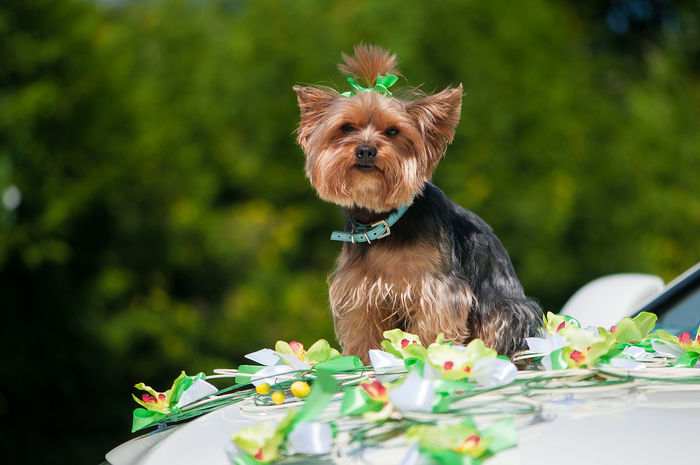 Yorkshire Terrier sitting on wedding car Animal Animal Themes Artificial Flower Background Car Day Decor Dog Dog Fashion Domestic Animals Grass Mammal No People One Animal Outdoors Pedigree Pet Clothing Pets Portrait Wedding Yorkshire Terrier