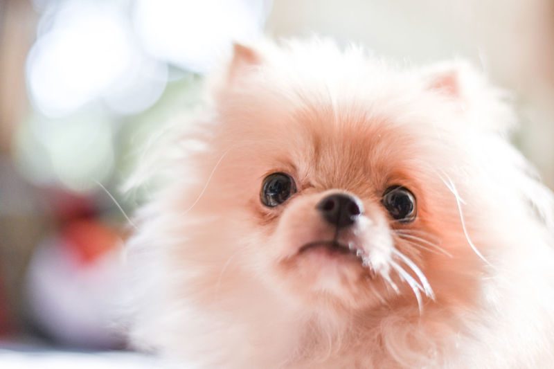 Light brown Pomeranian puppy looking to camera in marble floor room in bokeh background Domestic Mammal One Animal Animal Themes Pets Animal Domestic Animals Small Lap Dog Canine Dog Cute Close-up Indoors  White Color No People Looking At Camera Portrait Focus On Foreground Animal Body Part Animal Head  Shih Tzu Persian Cat  Pomeranian Puppy Doggy Adorable Happy Bokeh Looking Light And Shadow Brown Fluffy Blurred Background